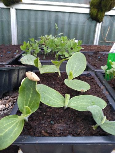 Pumpkin Jack o' Lantern plant