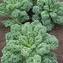 Borecole Curly Kale