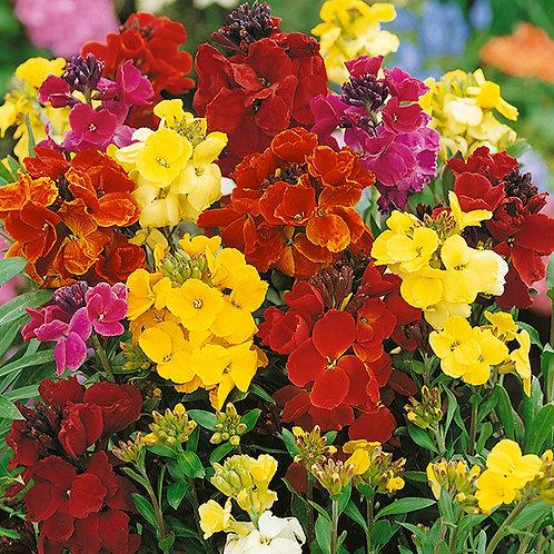 Crown blended mixture wallflowers - 7 plant