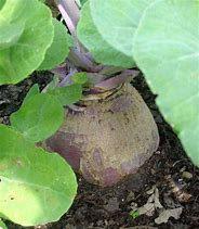 Swede Marion starter seedling plants