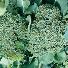 Calabreze De Cicco plants