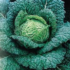 UK vertus savoy cabbage plants
