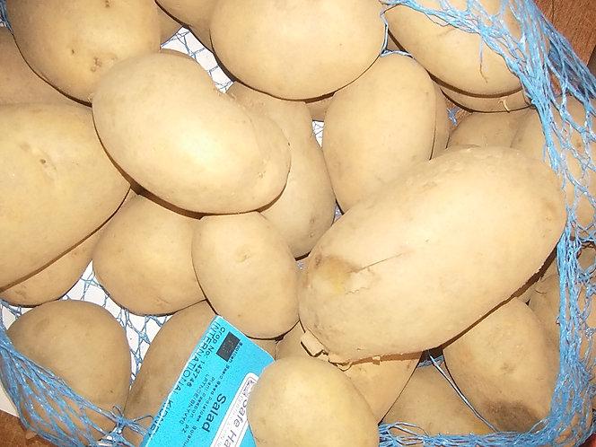 International Kidney main crop seed potato