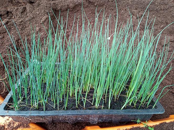 Jolant leek seedling starter plants