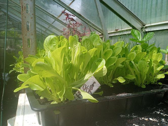 Little Gem Lettuce plants / seedlings