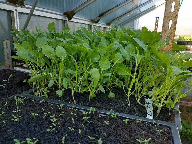 Cauliflower Aalsmeer starter seedlings  spring and winter