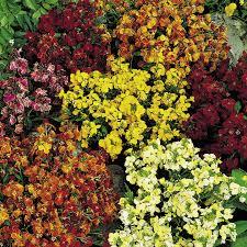 Persian carpet wallflower plants