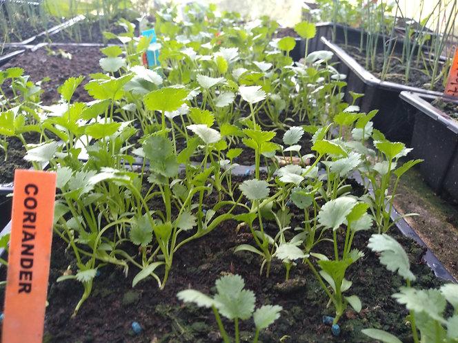 Coriander Herb starter seedling plants