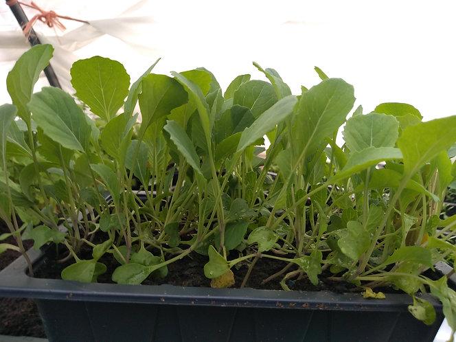 Evesham Brussels Sprouts starter seedlings / plants
