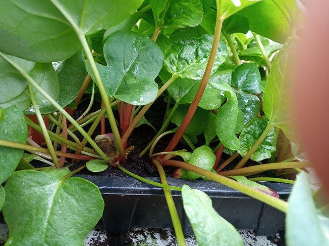 Victoria Rhubarb starter  plants small