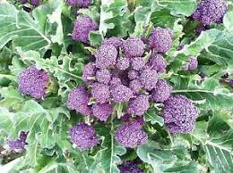 Early Sprouting Purple Broccoli