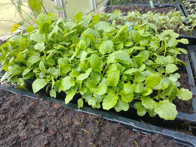 Turnip starter seedlings