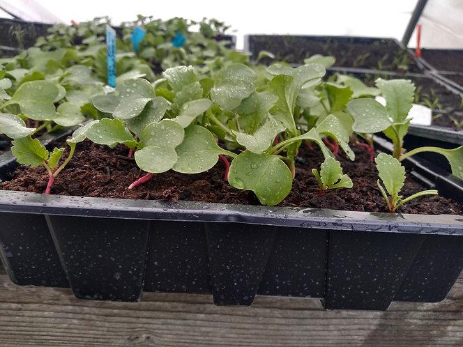 Radish starter seedlings French Breakfast