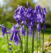Bluebell bulbs Hyacinthoides  Non Scripta