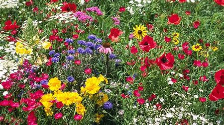 Wild Flower plants Medieval  mix