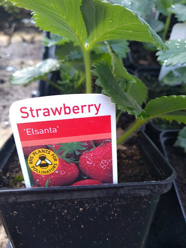 Elsanta Strawberry plant very popular
