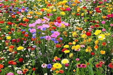 Wild Flower plants  BEE MIX developed to attract Bees and pollinating insects.