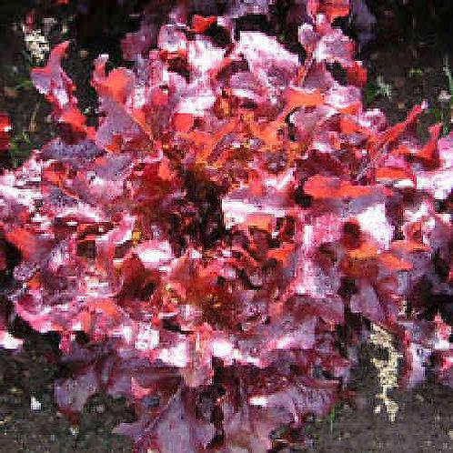 Salad Bowl red lettuce starter plants