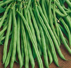 Climbing French Bean  500G Blue Lake Stringless grower pk