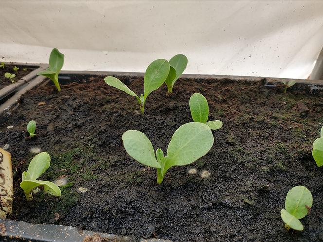 Green Globe Artichoke seedling plant