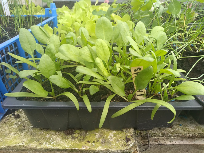 Spinach starter seedling per tray