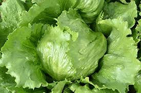 5g Lettuce Saladin seeds grower pk