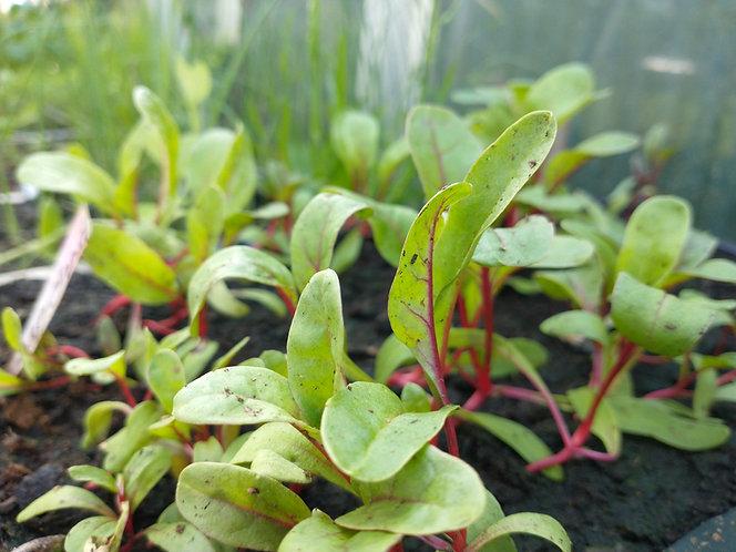Rhubarb Chard seedling plants