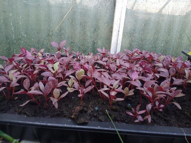 Amaranth Red Army ornamental seedling plants