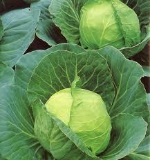 golden acre cabbage plants