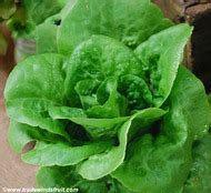 Little Gem lettuce 5g seed