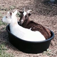 two goats in a bucket