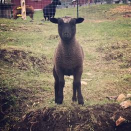 a very cute sheep