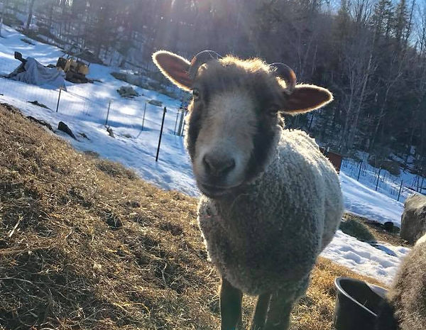 Willy is a year old Shetland sheep with adorable curly horns