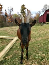 Alpine Oberhasli goat