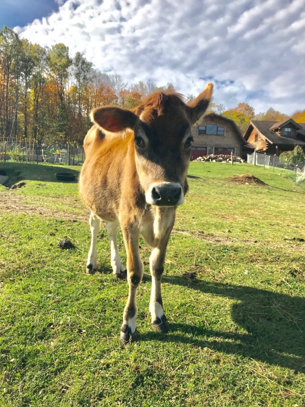 Aggy, a young Jersey cow
