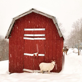 Beulah in the snow with barn