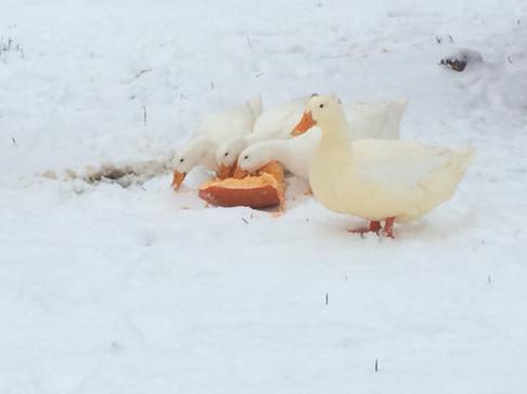 Ducks eating a pumpkin in the snow
