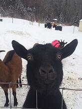 Retha- a very frisky goat