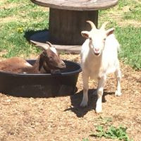Goat in a bucket whila goat laughs at you