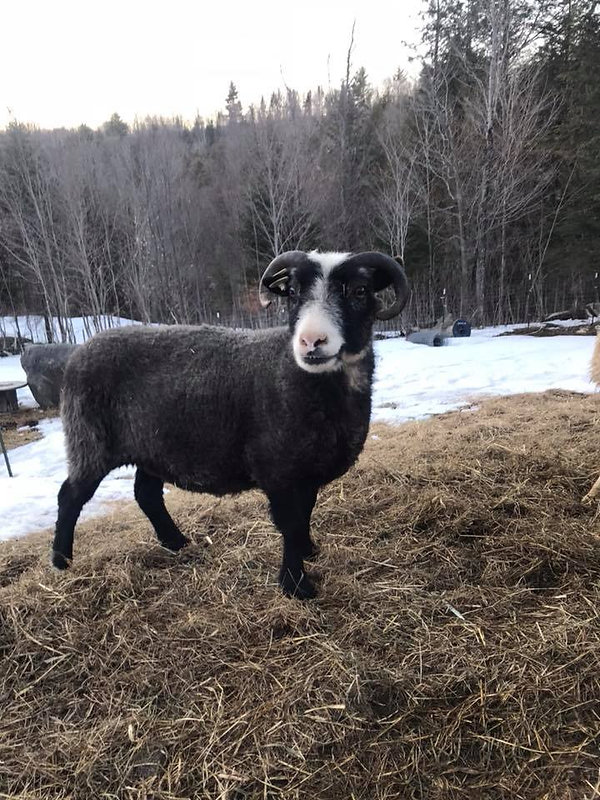 Rodney the Shetland sheep