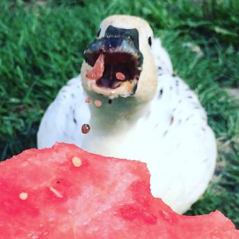 duck vs. watermelon