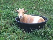Silly goat sitting in a bucket