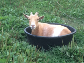 goat nestled down in a bucket