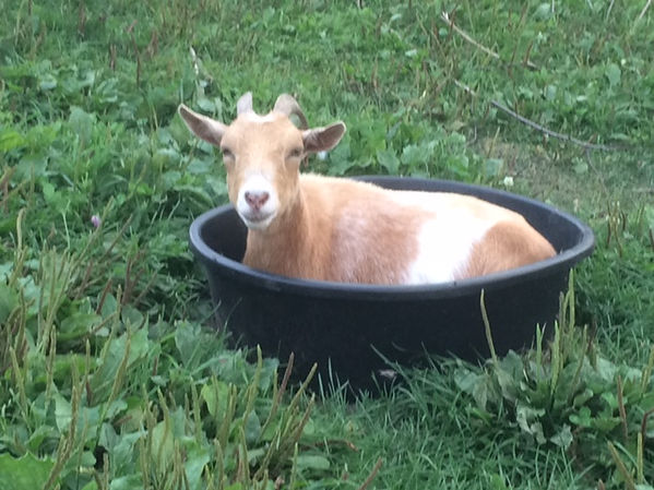 Beulah the goat lounging in a bucket