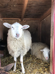 Two sheep with gentle souls