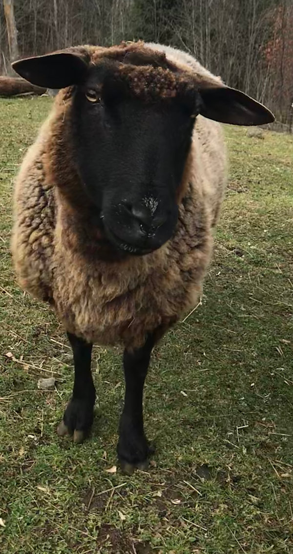 Mavis the wise and gentle ewe