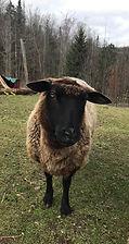 Mavis- a retired breeding ewe