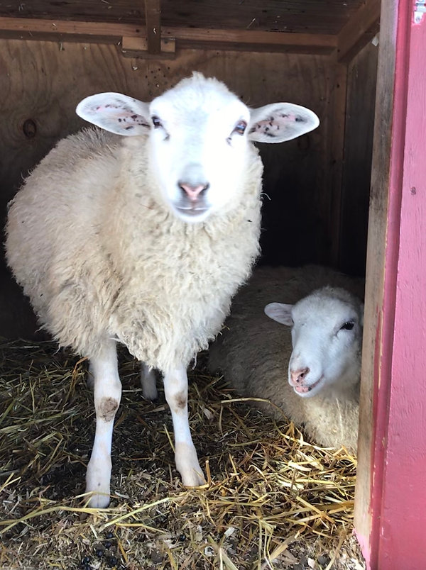 Beatrice and Eunice are two sweet little lambs and are twin sisters