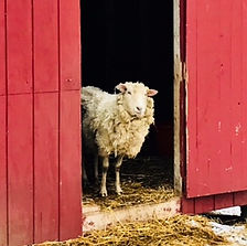 A ver gentle retired breeding ewe named Maybelle