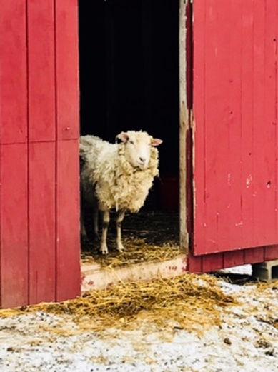 Maybelle the retired breeding ewe